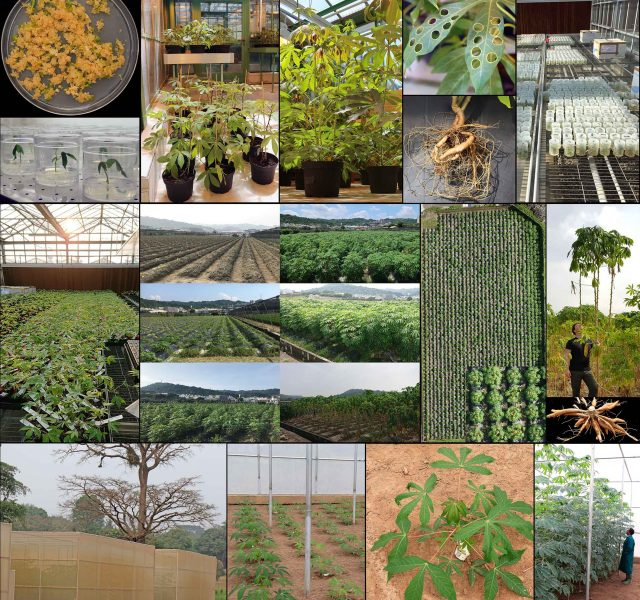 The Cassava Source-Sink project