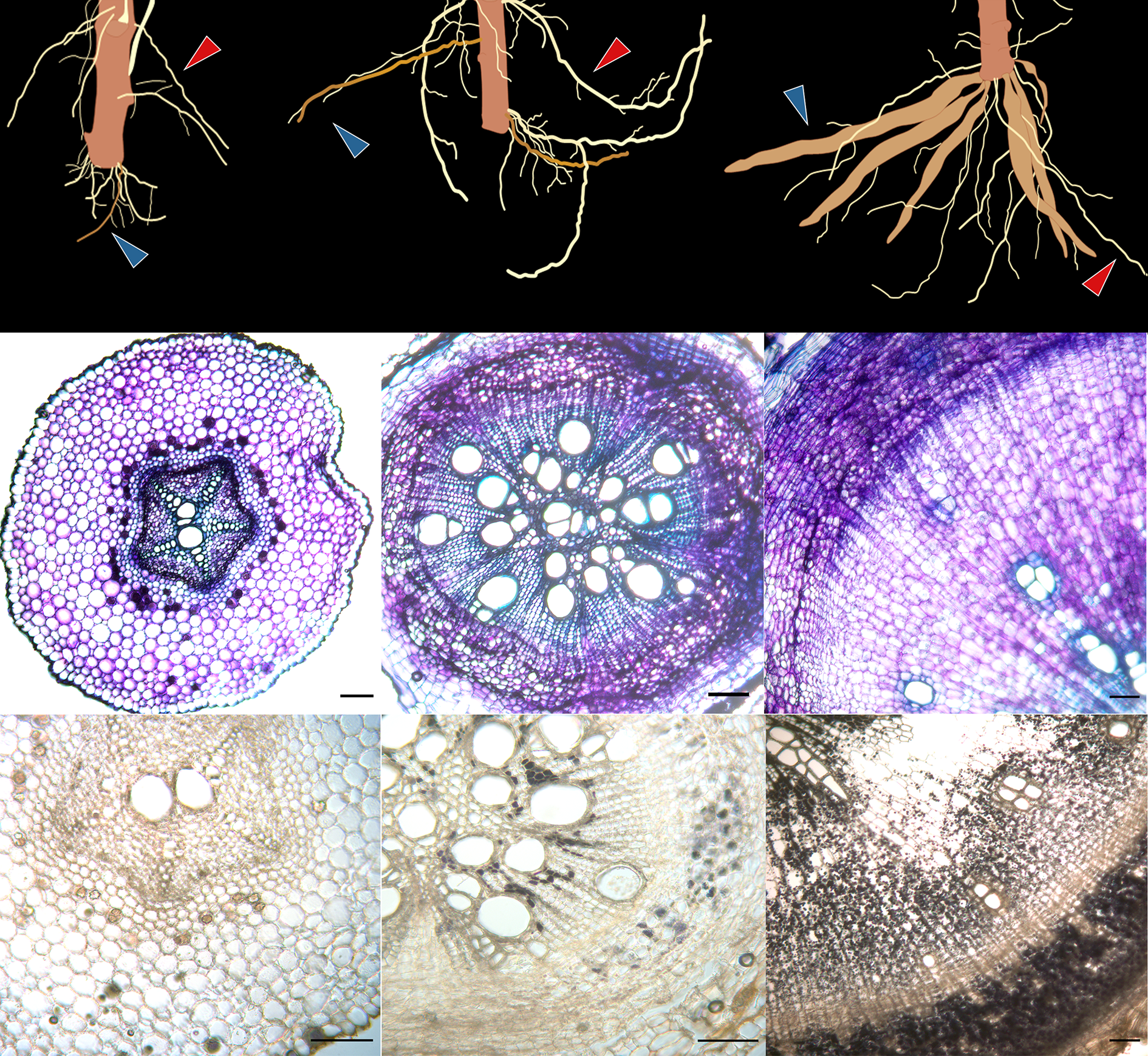 Auxin signaling and vascular cambium formation enables storage metabolism