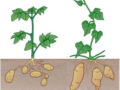 Tuber and Tuberous Root Development